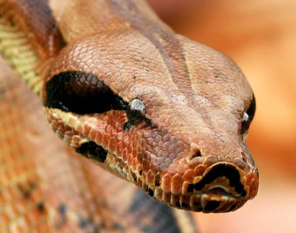 dangerous snake São Paulo, Brazil 5